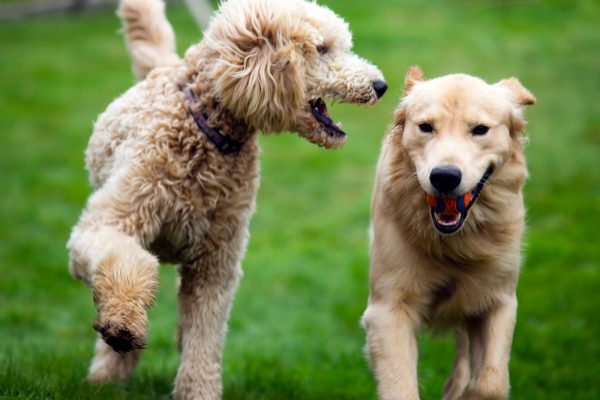 happy-golden-retreiver-dog-with-poodle-playing-PCABTBY.jpg